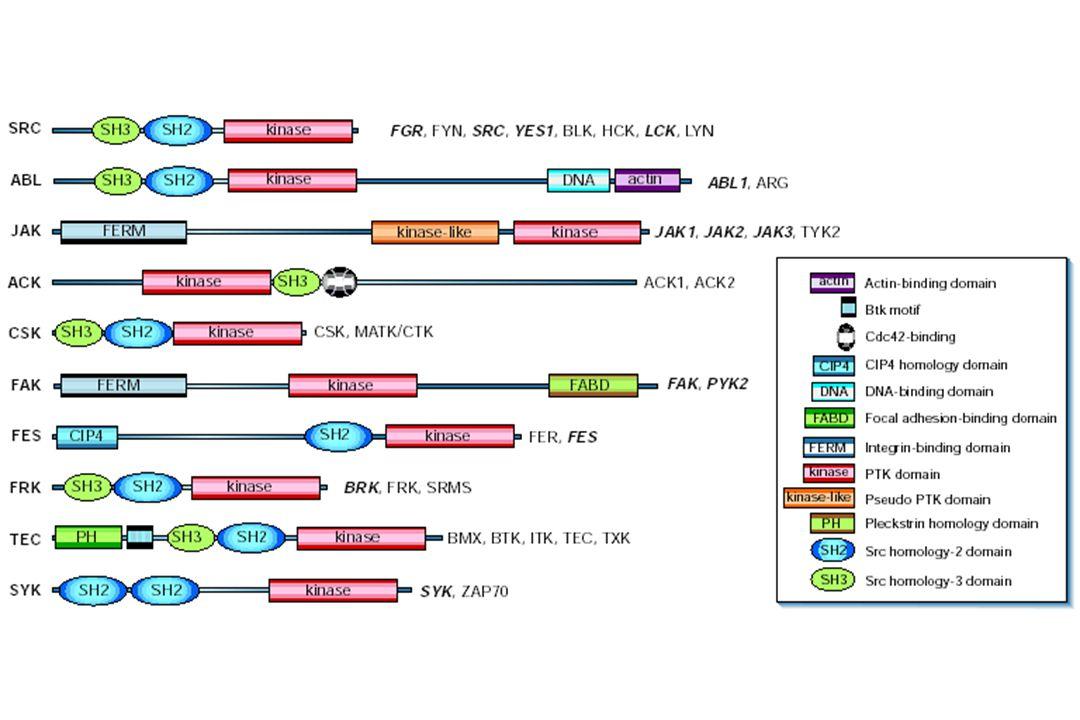 ABL Tyr BCR Autophosphorylation by dimerization P Phosphorylation of substrates