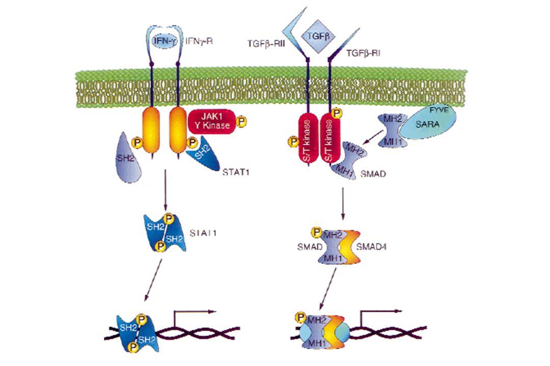 Mutazioni puntiformi l Numerosi esempi sia nei tumori ematologici (JAK2 in DMPC-Ph-negativi) che nei tumori solidi (KIT nei GIST) l Meccanismo di attivazione: meccanismo di attivazione diretto del dominio TK amino acid substitutions P P P P P P P P P P * * *