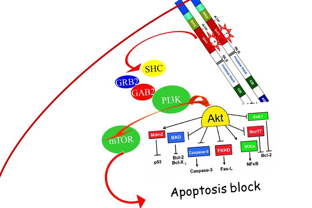 GRB2 GAB2 SHC PI3K mTOR Apoptosis block