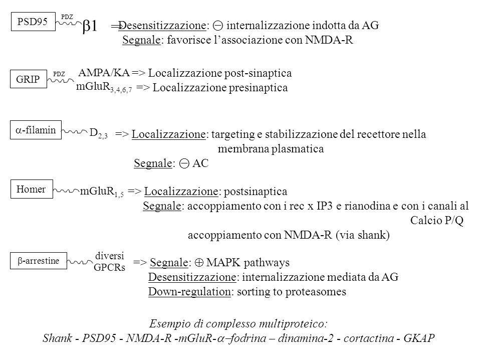 PSD95 PDZ 11  Desensitizzazione: ⊝ internalizzazione indotta da AG Segnale: favorisce l'associazione con NMDA-R GRIP PDZ AMPA/KA mGluR 3,4,6,7 => L
