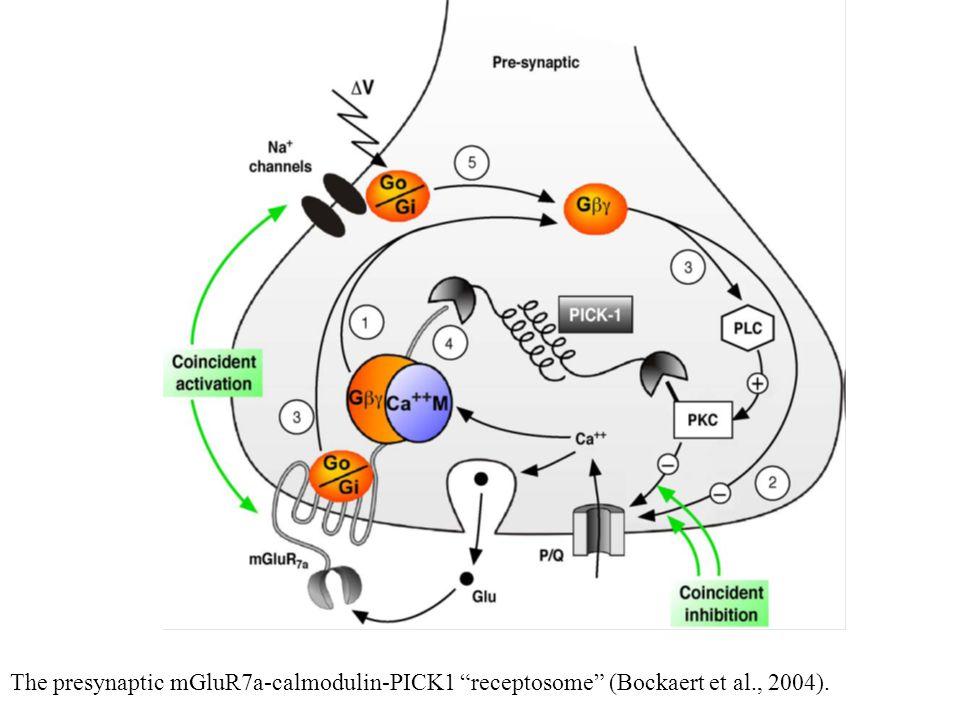 "The presynaptic mGluR7a-calmodulin-PICK1 ""receptosome"" (Bockaert et al., 2004)."