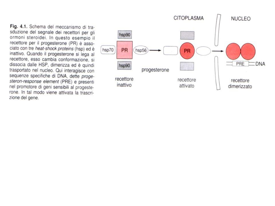 RECETTORI CON ATTIVITA' TIROSIN CHINASICA Fosforilano substrati proteici in corrispondenza di residui tirosinici Esempi: recettori per fattori di crescita (IGF-1, NGF, EGF, FGF, etc) e per diverse citochine CARATTERISTICHE STRUTTURALI: -Unica catena polipeptidica che attraversa una sola volta la membrana (eccezioni: Insulin-R: tetramero, HGF-R: dimero) -Interazione con il ligando a livello della porzione extracellulare -Dominio catalitico intracellulare -Coda C-terminale (ca.