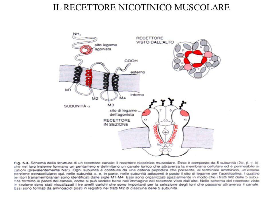 RECETTORI ACCOPPIATI A PROTEINE G Trasducono il segnale generato dal legame con il mediatore attivando una proteina G PROTEINE G: molecole proteiche eterotrimeriche (  ), legano il GTP (  ) e possiedono attività GTPasica (  ) L'attivazione del recettore porta alla produzione di diverse molecole di 2° messaggeri  attivazione di numerose molecole enzimatiche  amplificazione del segnale  lunga durata dell'effetto CARATTERISTICHE STRUTTURALI: -Unica catena polipeptidica a 7 zone transmembranarie (T1-T7) -La zona citoplasmatica fra T5 e T6 riconosce le proteine G specifiche -Il sito di legame per il neurotrasmettitore si trova nelle porzioni transmembranarie o extracellulari della sequenza amminoacidica