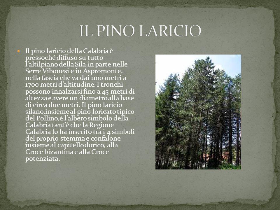 Il pino laricio della Calabria è pressoché diffuso su tutto l'altilpiano della Sila,in parte nelle Serre Vibonesi e in Aspromonte, nella fascia che va dai 1100 metri a 1700 metri d'altitudine.
