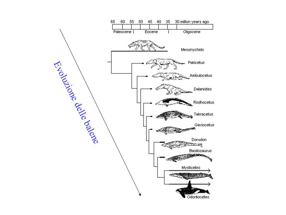 Evoluzione delle balene