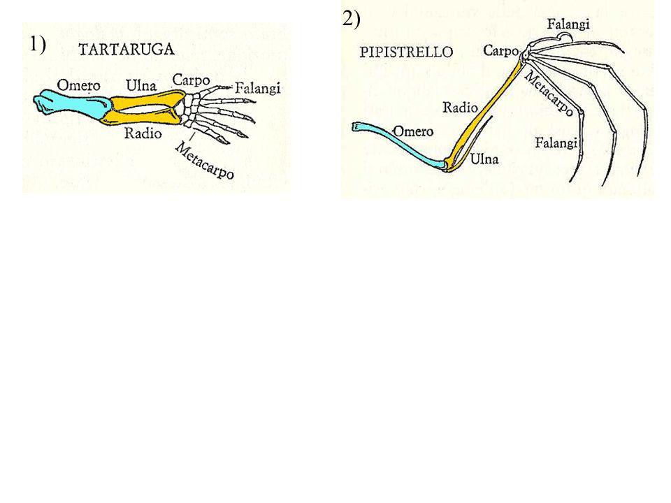Organi omologhi nell'uomo: caviglia coscia ginocchio