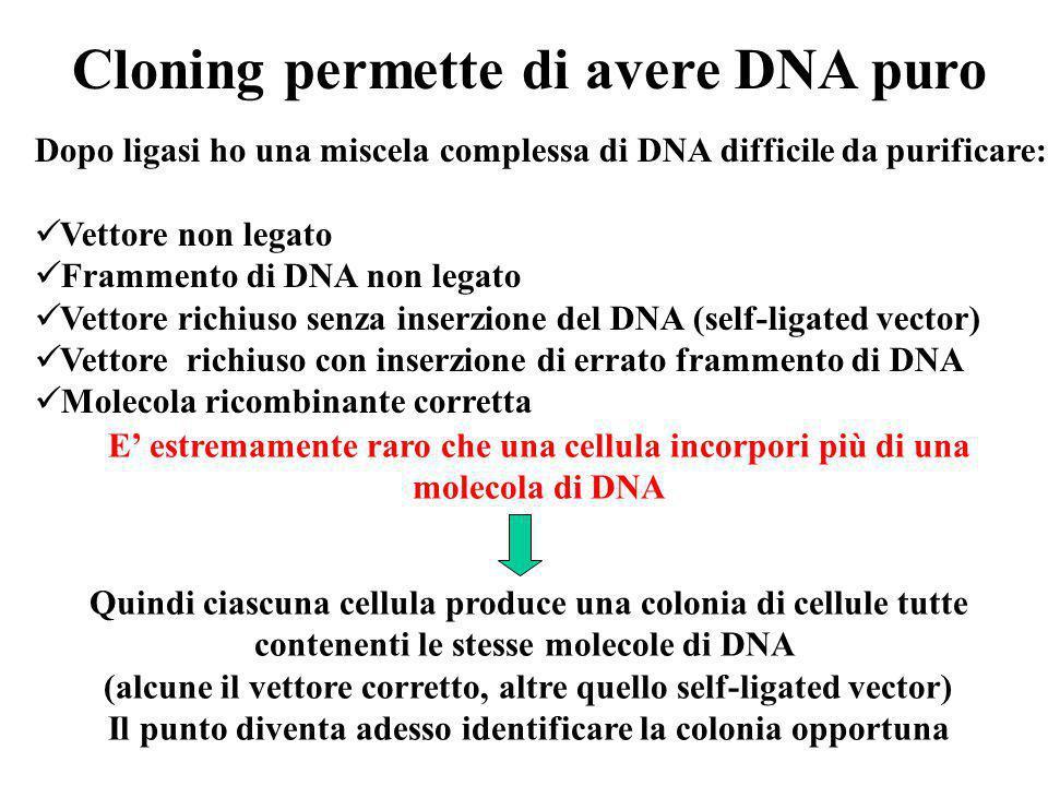 Cloning permette di avere DNA puro Dopo ligasi ho una miscela complessa di DNA difficile da purificare: Vettore non legato Frammento di DNA non legato Vettore richiuso senza inserzione del DNA (self-ligated vector) Vettore richiuso con inserzione di errato frammento di DNA Molecola ricombinante corretta E' estremamente raro che una cellula incorpori più di una molecola di DNA Quindi ciascuna cellula produce una colonia di cellule tutte contenenti le stesse molecole di DNA (alcune il vettore corretto, altre quello self-ligated vector) Il punto diventa adesso identificare la colonia opportuna
