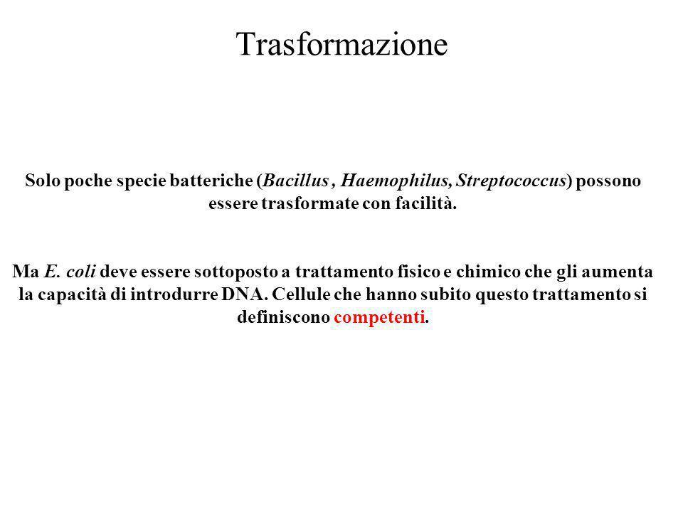 Trasformazione Solo poche specie batteriche (Bacillus, Haemophilus, Streptococcus) possono essere trasformate con facilità. Ma E. coli deve essere sot