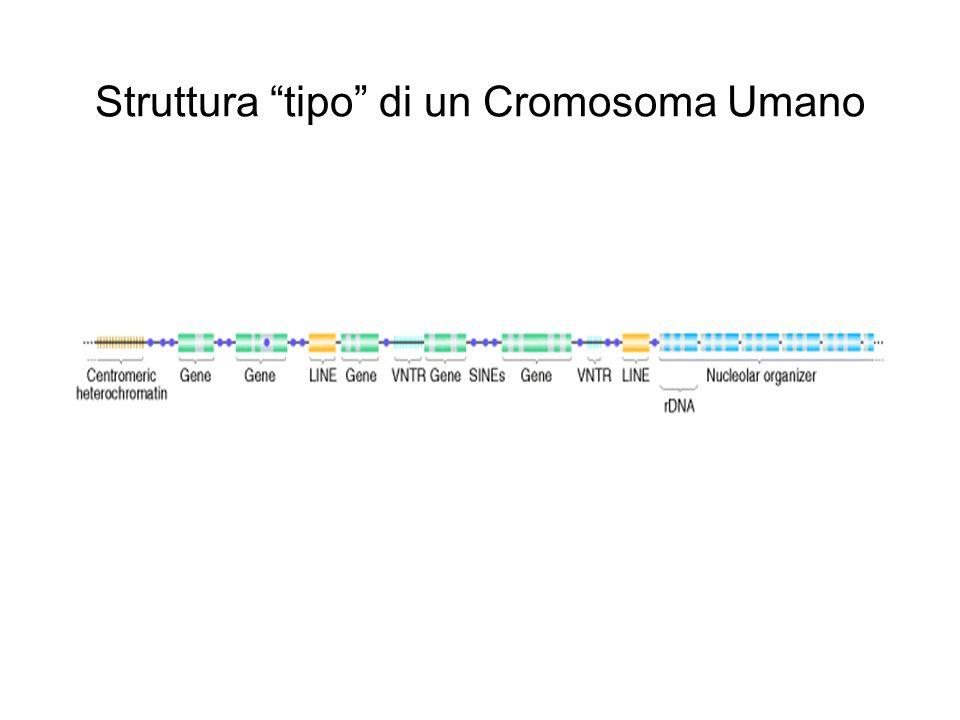 Struttura tipo di un Cromosoma Umano