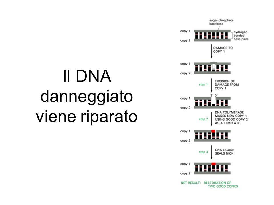 Il DNA danneggiato viene riparato