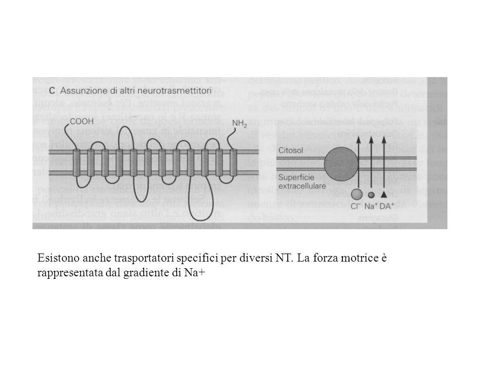 Esistono anche trasportatori specifici per diversi NT. La forza motrice è rappresentata dal gradiente di Na+
