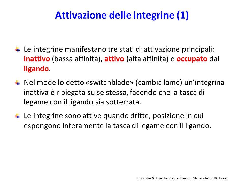 Attivazione delle integrine (1) Le integrine manifestano tre stati di attivazione principali: inattivo (bassa affinità), attivo (alta affinità) e occu