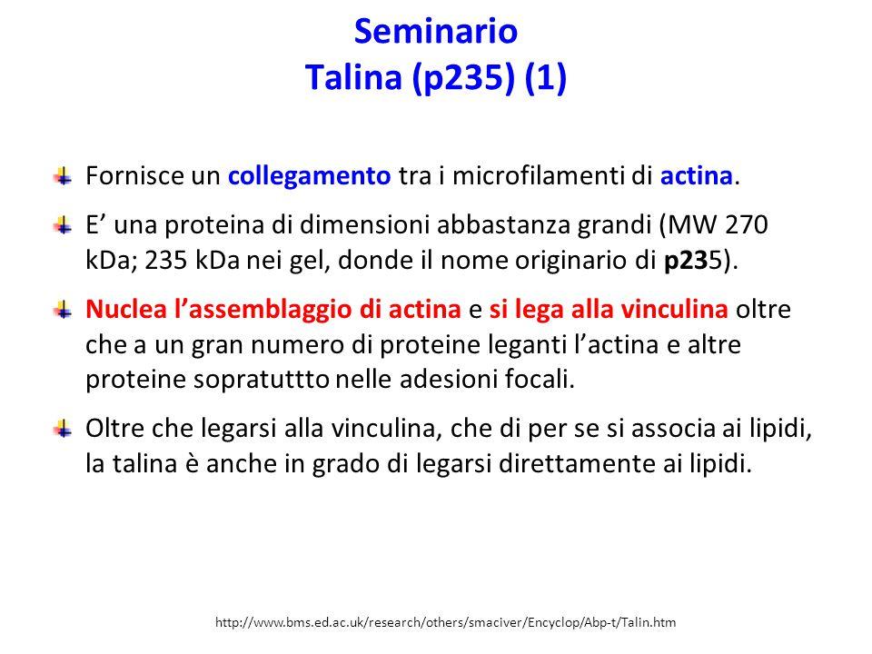 Seminario Talina (p235) (1) Fornisce un collegamento tra i microfilamenti di actina. E' una proteina di dimensioni abbastanza grandi (MW 270 kDa; 235