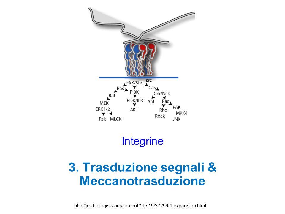 Integrine 3. Trasduzione segnali & Meccanotrasduzione http://jcs.biologists.org/content/115/19/3729/F1.expansion.html