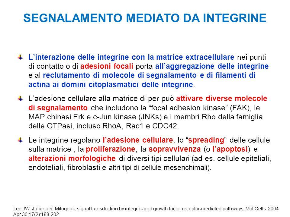 SEGNALAMENTO MEDIATO DA INTEGRINE L'interazione delle integrine con la matrice extracellulare nei punti di contatto o di adesioni focali porta all'agg