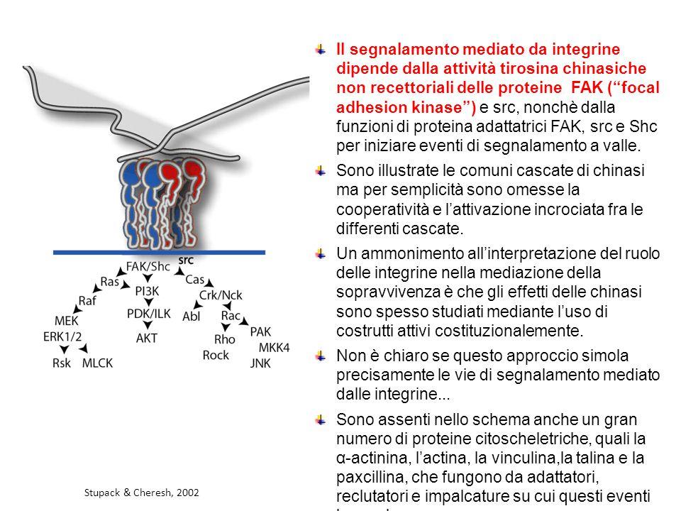 """Il segnalamento mediato da integrine dipende dalla attività tirosina chinasiche non recettoriali delle proteine FAK (""""focal adhesion kinase"""") e src, n"""