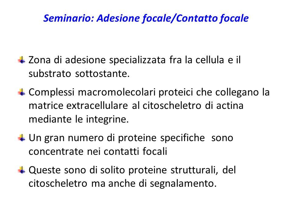 Seminario: Adesione focale/Contatto focale Zona di adesione specializzata fra la cellula e il substrato sottostante. Complessi macromolecolari proteic