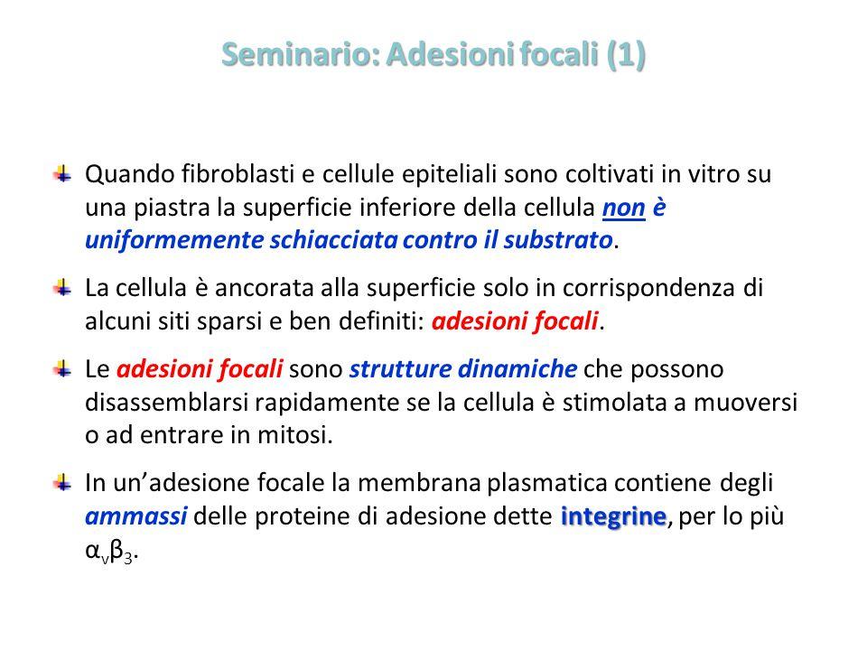 Seminario: Adesioni focali (1) Quando fibroblasti e cellule epiteliali sono coltivati in vitro su una piastra la superficie inferiore della cellula no