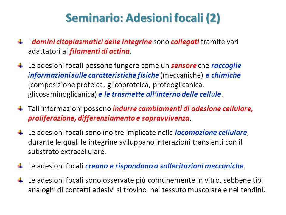 Seminario: Adesioni focali (2) I domini citoplasmatici delle integrine sono collegati tramite vari adattatori ai filamenti di actina. Le adesioni foca