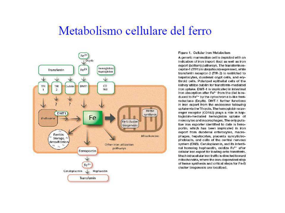 Il ciclo della transferrina La Fe-transferrina si lega al recettore (TfR) Il complesso è internalizzato negli endosomi, a pH acido Il ferro è rilasciato e trasportato nel citosol da DMT1 Esso è usato per la sintesi di enzimi e depositato nella ferritina