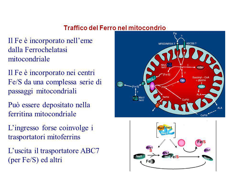 Ferritina Mitocondriale La ferritina mitocondriale (MtF), è codificata da un gene senza introni sul cromosoma Il precursore è una proteina di 242 amino acidi che è processata nel mitocondria nella forma matura che assemble in ferritina funzionale con attività ferroxidasica Ha proprietà di iron storage Ha una espressione strettamente tessuto specifica (testis, islets of Langherans, neurons?)