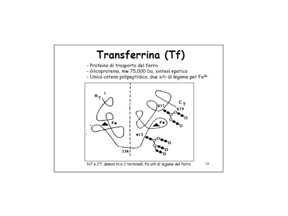 Traffico del Ferro nel mitocondrio Il Fe è incorporato nell'eme dalla Ferrochelatasi mitocondriale Il Fe è incorporato nei centri Fe/S da una complessa serie di passaggi mitocondriali Può essere depositato nella ferritina mitocondriale L'ingresso forse coinvolge i trasportatori mitoferrins L'uscita il trasportatore ABC7 (per Fe/S) ed altri