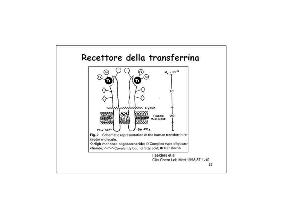 25 Transferrina (Tf)  -glicoproteina, sintetizzata in fegato, 78 kDa 2 siti di legame con Fe +++, 3 forme:  Tf o apoTf: 44%  Tf - Fe: 44%  Tf-2 Fe: 11% Cofattore: HCO 3 - Altissima affinità, K eq =10 19 -10 31 M -1 :  In presenza di Tf, non esiste Fe +++ libero Tf-2Fe +++ internalizzata nelle cellule eritroidi e placenta