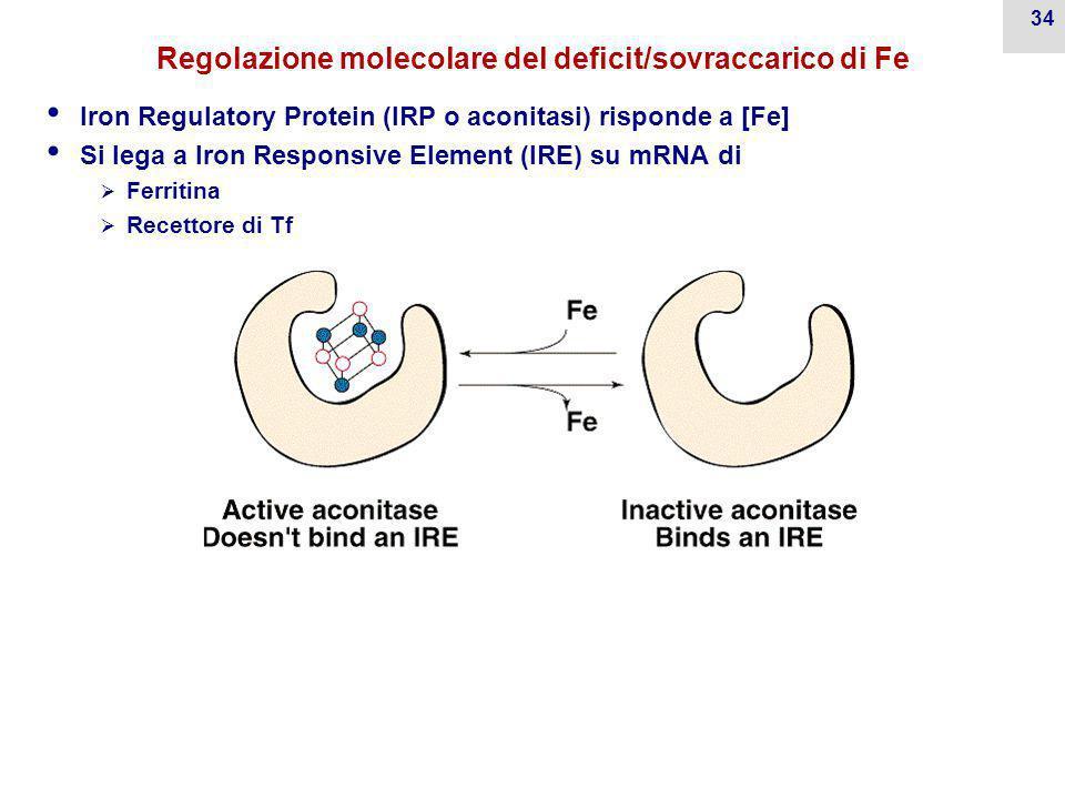 Meccanismo di trasporto cellulare di ferro mediato dalla transferrina Il meccanismo di trasporto del Fe all'interno degli entrociti è un esempio di en