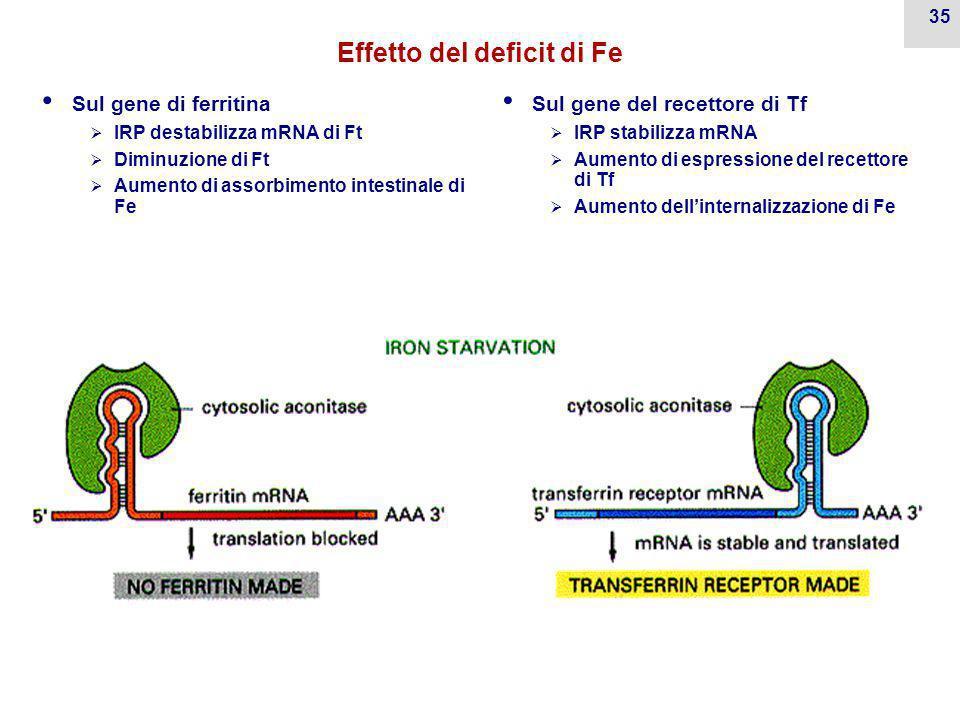 34 Regolazione molecolare del deficit/sovraccarico di Fe Iron Regulatory Protein (IRP o aconitasi) risponde a [Fe] Si lega a Iron Responsive Element (IRE) su mRNA di  Ferritina  Recettore di Tf