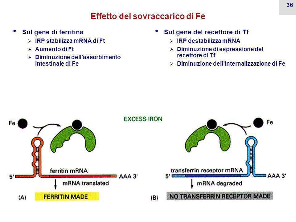 35 Effetto del deficit di Fe Sul gene di ferritina  IRP destabilizza mRNA di Ft  Diminuzione di Ft  Aumento di assorbimento intestinale di Fe Sul gene del recettore di Tf  IRP stabilizza mRNA  Aumento di espressione del recettore di Tf  Aumento dell'internalizzazione di Fe