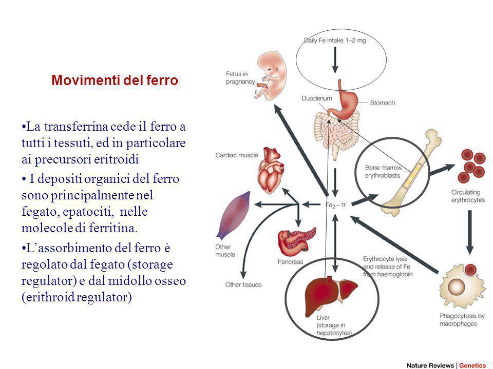 Distribuzione del ferro nell'uomo Ferro totale: 4-6 g Scambi : 1-2 mg/die Ferro-transferrina: 3 mg Assorbimento del ferro Avviene nel duodeno, circa 10% del totale, è influenzato da Quantità e biodisponibilita' del ferro nella dieta Dai depositi organici di ferro Velocità di eritropoiesi Ipossia dei tessuti