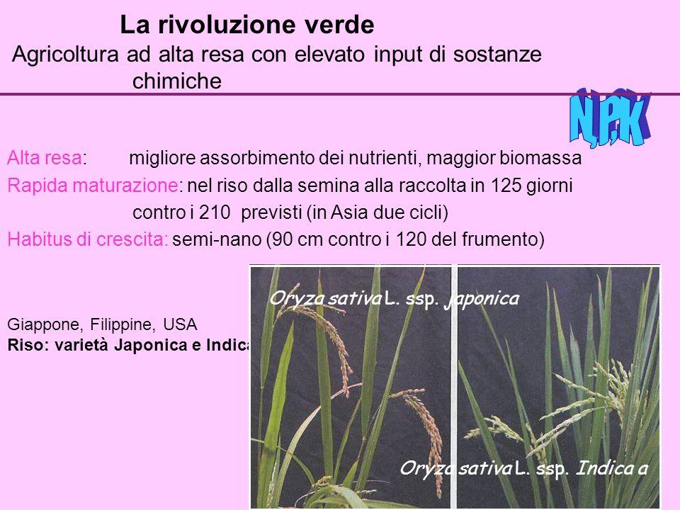 La rivoluzione verde Agricoltura ad alta resa con elevato input di sostanze chimiche Alta resa: migliore assorbimento dei nutrienti, maggior biomassa