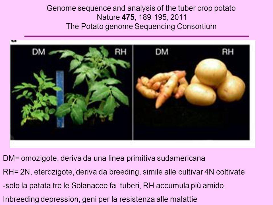 Genome sequence and analysis of the tuber crop potato Nature 475, 189-195, 2011 The Potato genome Sequencing Consortium DM= omozigote, deriva da una l