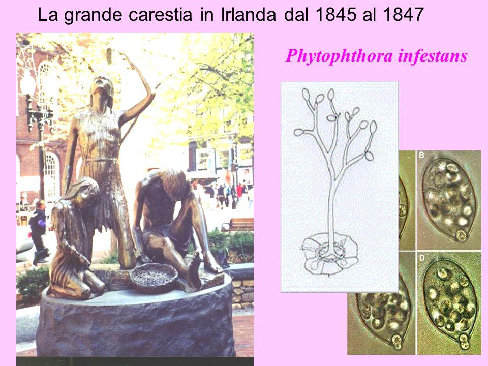La grande carestia in Irlanda dal 1845 al 1847 Phytophthora infestans