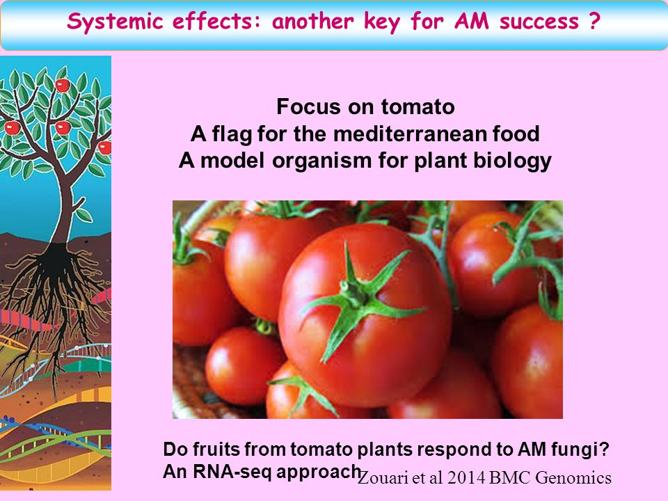 Do fruits from tomato plants respond to AM fungi? An RNA-seq approach Focus on tomato A flag for the mediterranean food A model organism for plant bio