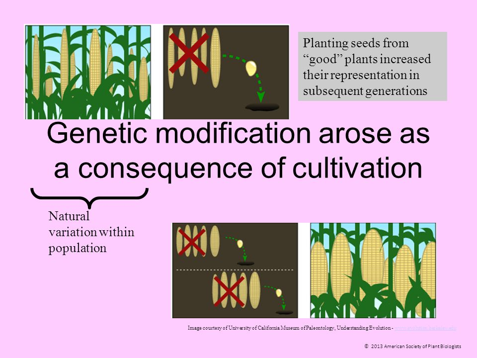 © 2013 American Society of Plant Biologists Genetic modification arose as a consequence of cultivation Natural variation within population Image court
