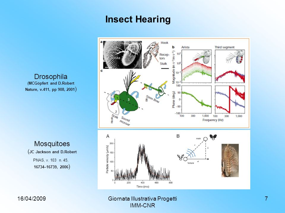 16/04/2009Giornata Illustrativa Progetti IMM-CNR 7 Insect Hearing Mosquitoes ( JC Jackson and D.Robert PNAS, v.
