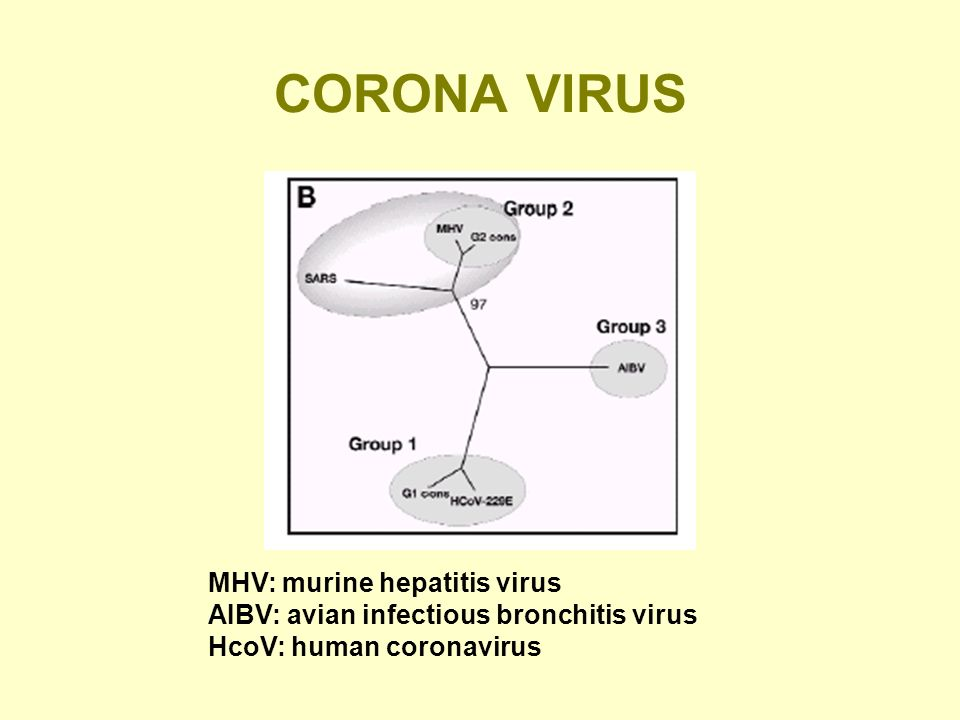 CORONA VIRUS MHV: murine hepatitis virus AIBV: avian infectious bronchitis virus HcoV: human coronavirus