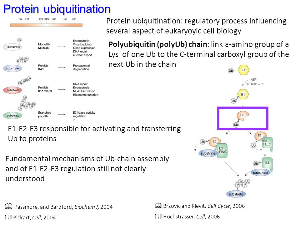 Protein ubiquitination Passmore, and Bardford, Biochem J, 2004 Pickart, Cell, 2004 Brzovic and Klevit, Cell Cycle, 2006 Hochstrasser, Cell, 2006 Protein ubiquitination: regulatory process influencing several aspect of eukaryoyic cell biology Polyubiquitin (polyUb) chain: link ε-amino group of a Lys of one Ub to the C-terminal carboxyl group of the next Ub in the chain E1-E2-E3 responsible for activating and transferring Ub to proteins Fundamental mechanisms of Ub-chain assembly and of E1-E2-E3 regulation still not clearly understood