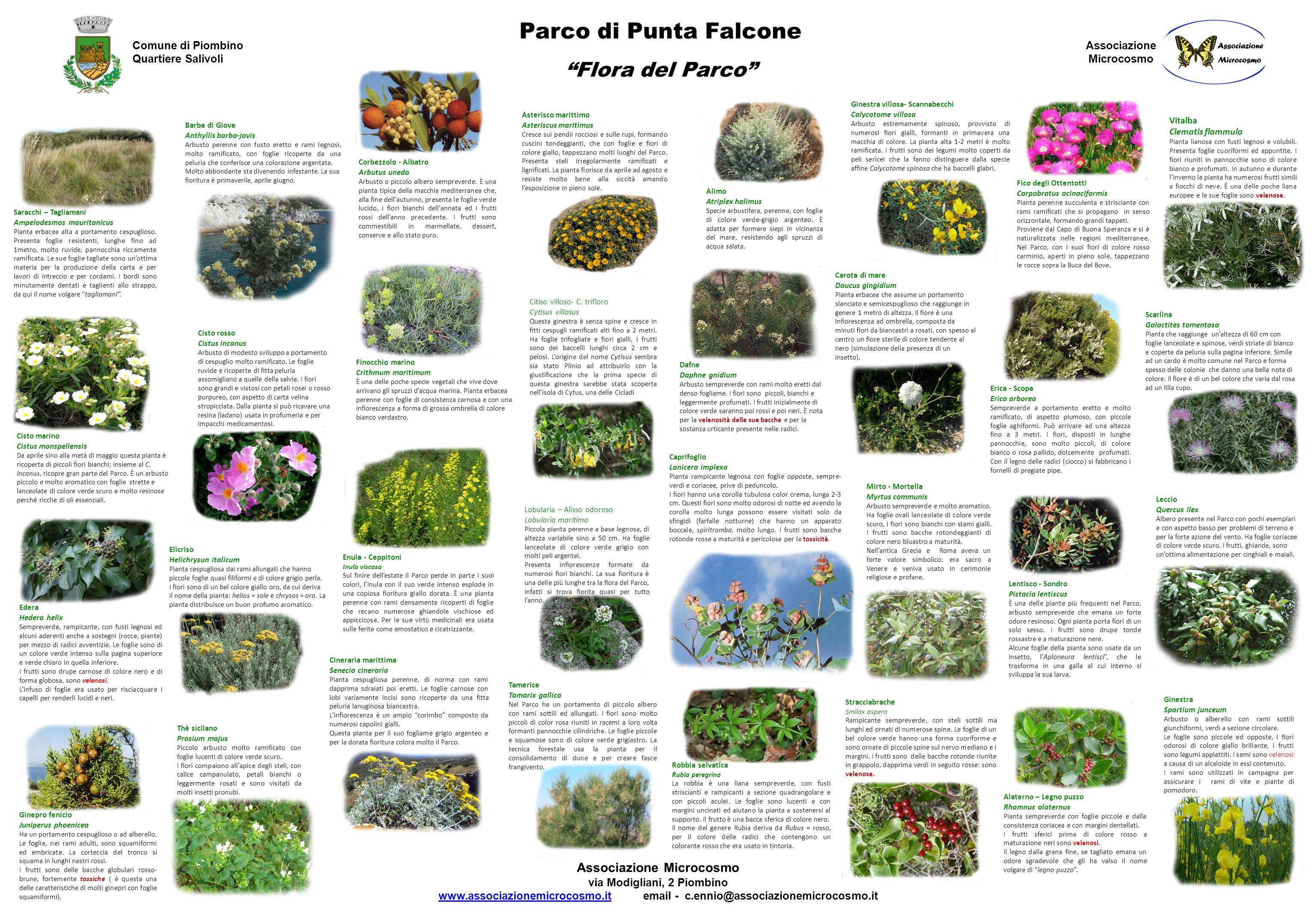 """Barba Di Giove Sempreverde parco di punta falcone """"flora del parco"""" comune di piombino"""